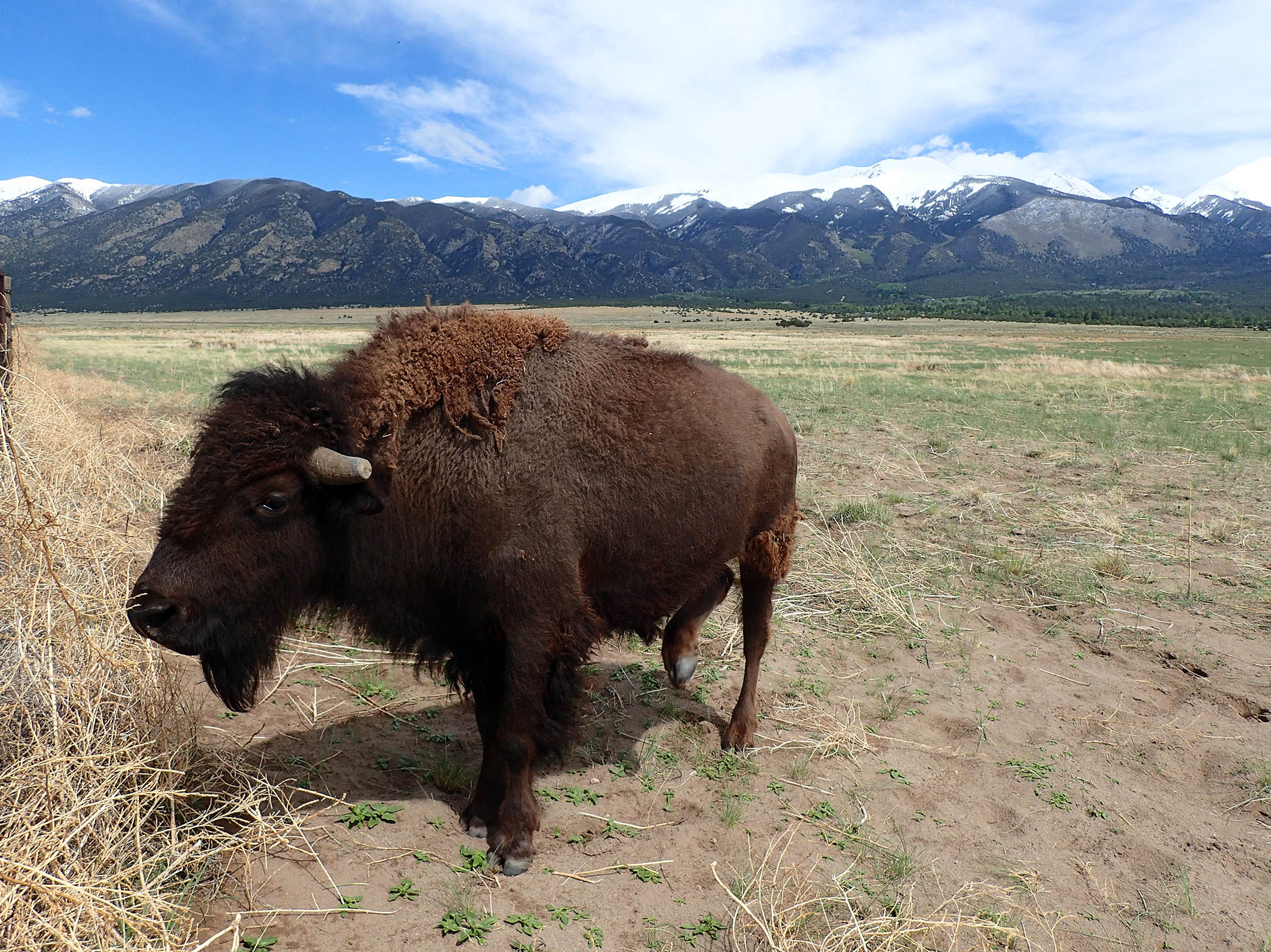 Bison Great Sand Dunes